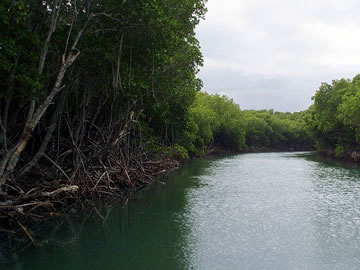 Mangroves of Estero Balsa